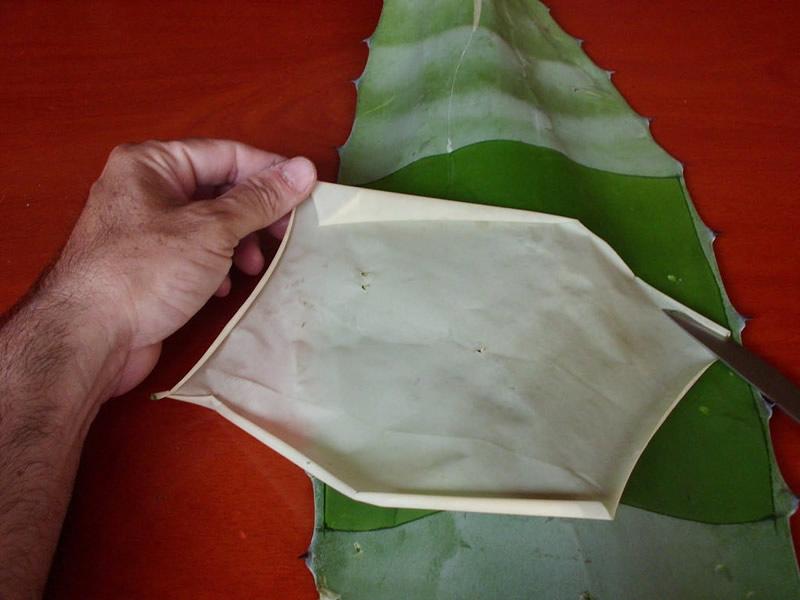 agave biopiel quemaduras A partir de agave, mexicanos crean biopiel para tratar quemaduras graves