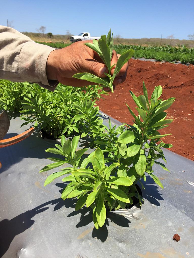 Destaca científica mexicana las rentables ventajas de cultivar estevia en el país - ventajas-de-cultivar-estevia_1
