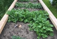Foto van aardappels in de moestuin