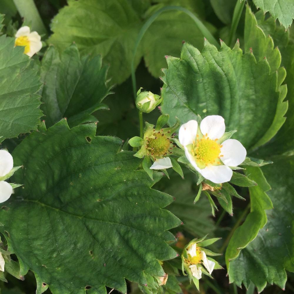 Foto van een aardbeien bloem welke transformeert naar een vrucht