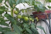 Foto van een tomatenplant welke gekweekt wordt op een balkon