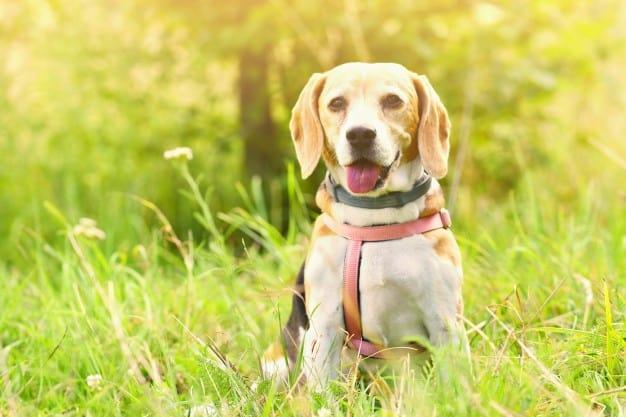 Beagle com a língua pra fora