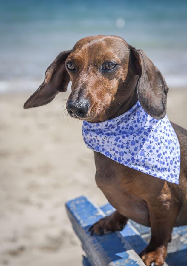 Dachshund na praia com um pano em volta do pescoço