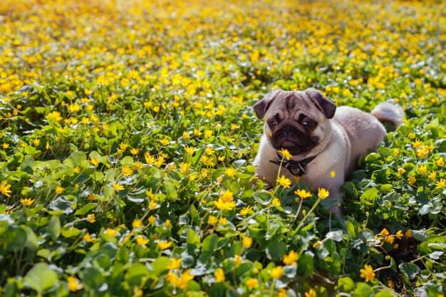 Pug deitado nas flores
