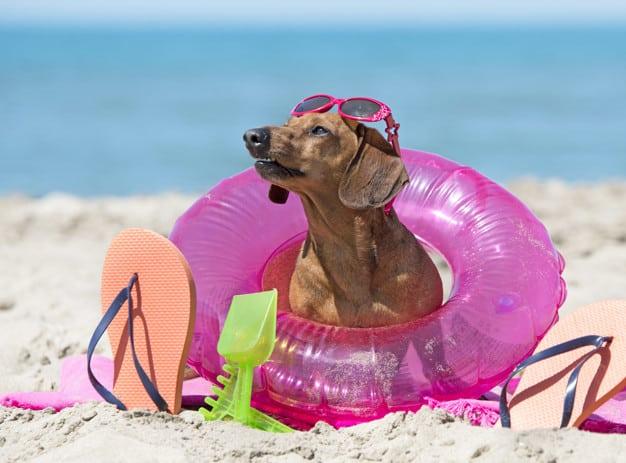 Cachorro Dachshund sentado na areia da praia