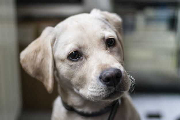 Labrador olhando para o lado