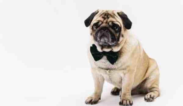 Pug sentado com uma gravata no pescoço