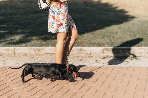Dachshund andando na rua de colheira com uma mulher