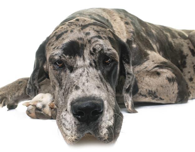 Dogue Alemão deitado em fundo branco