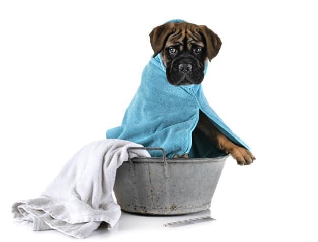 Bullmastiff dentro da bacia e enrolado na toalha em um fundo branco