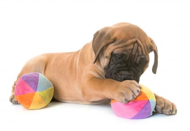 Bullmastiff deitado brincando com a bola colorida em um fundo branco