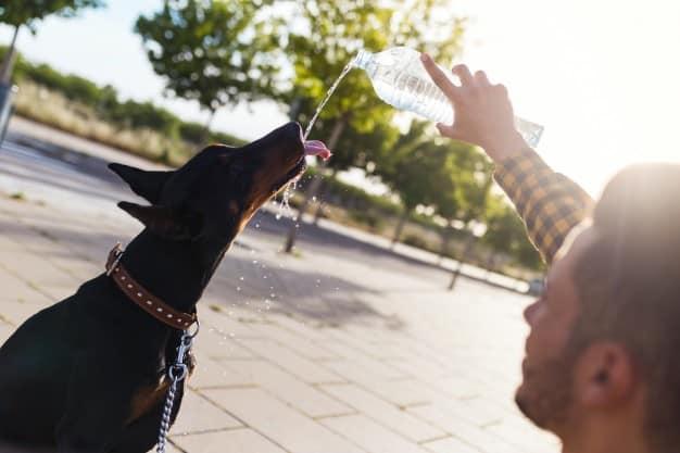 Doberman bebendo água