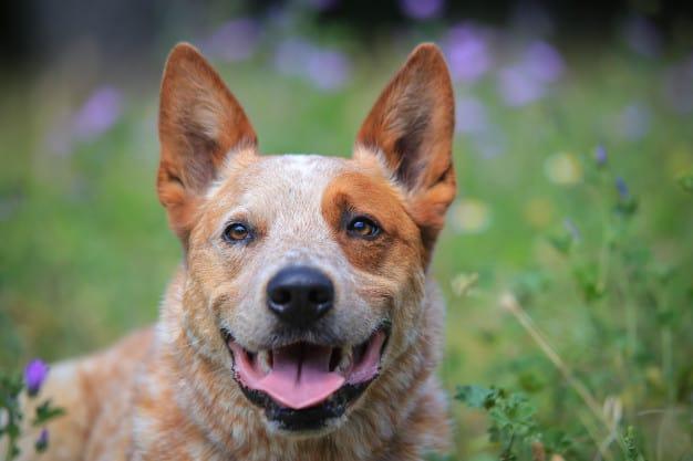 Australian Cattle Dog com a língua pra fora