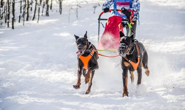 Dois Dobermans correndo na neve