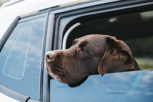Como viajar de carro com o seu cachorro