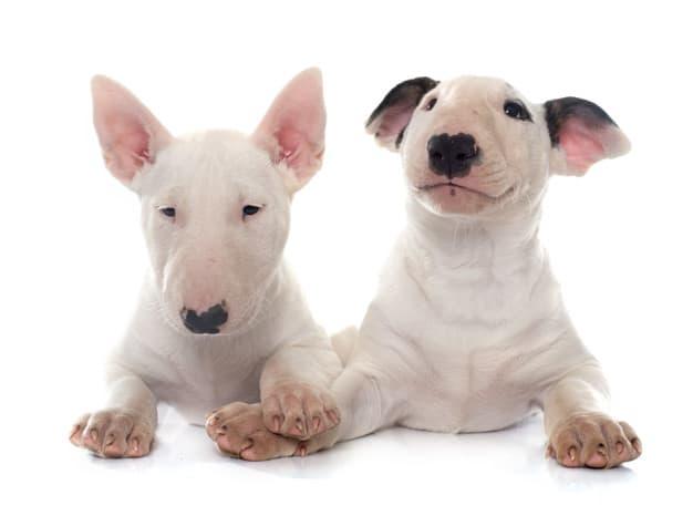 Bull Terrier: Características da raça, comportamento, alimentação e preço