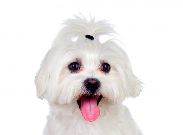 Bichon Frisé com a língua pra fora em fundo branco