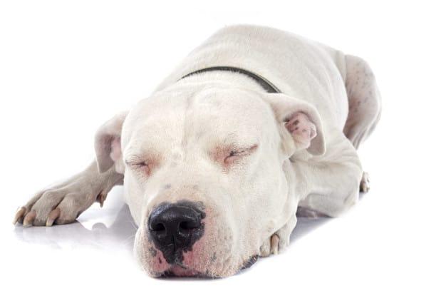 Saiba tudo sobre câncer de pele em cães