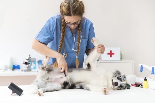 Cadela no cio em consulta com veterinária