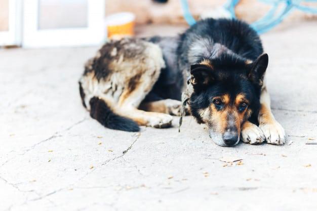 Conheças as sarnas em cães e saiba como agir