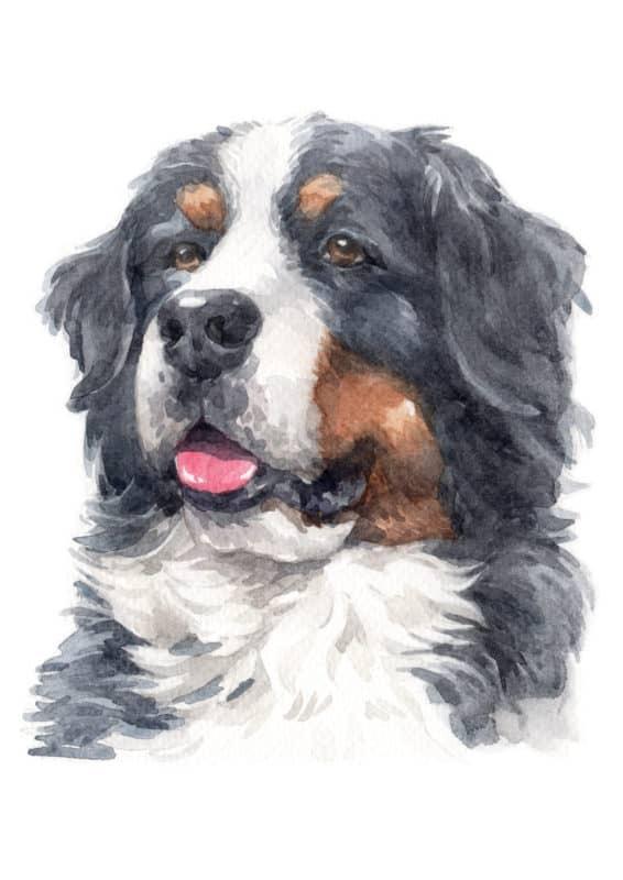 Boiadeiro de Berna Bernese boiadeiro-bernês ilustração cachorro grande