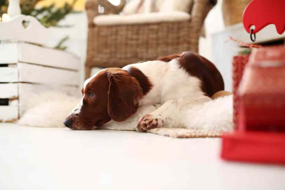 Cachorro deitado dentro de casa rotina