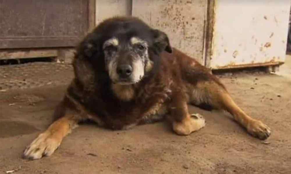 Foto de Maggie, cão mais velho do mundo, deitada no chão