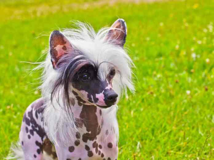 Cão de Crista Chinês pintado em gramado