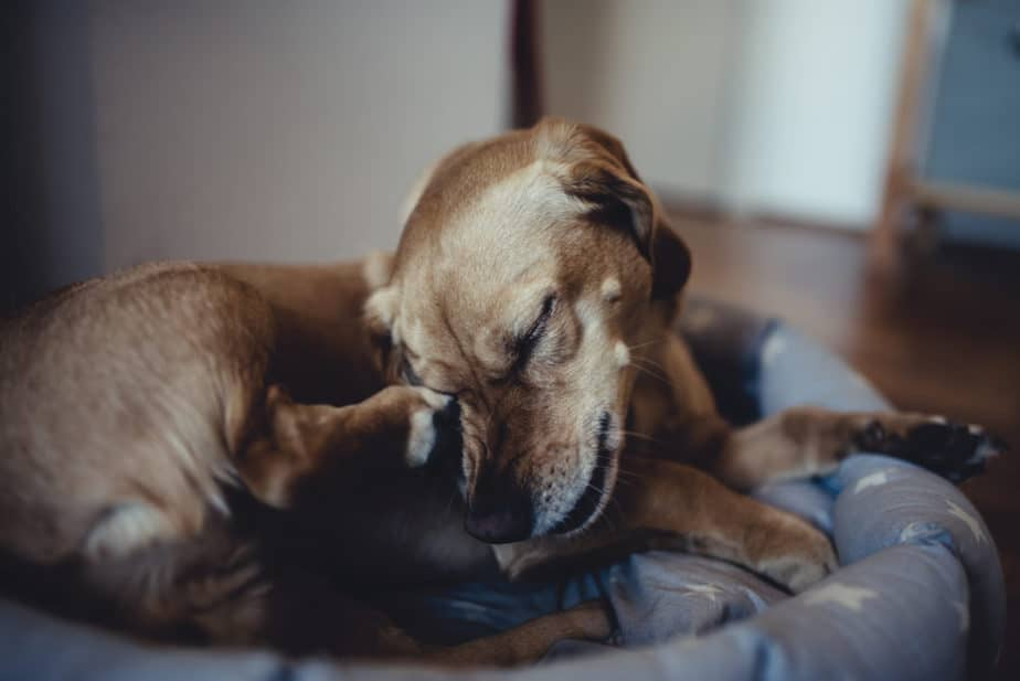 Cão marrom com pulgas e carrapatos em uma cama coçando o focinho.