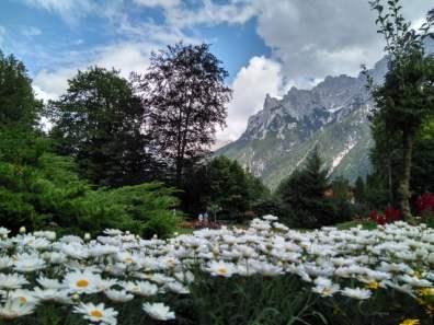 Margeriten im Krausegarten