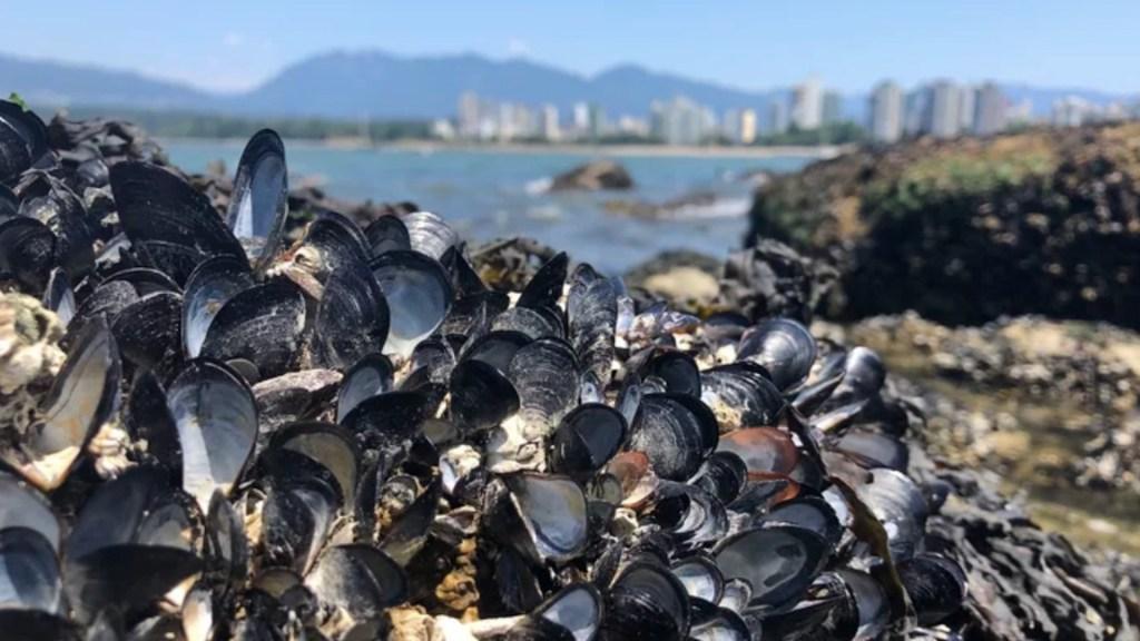 Mueren millones de mejillones y almejas en Canadá por ola de calor