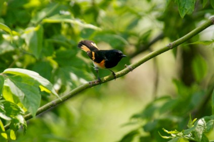 American Redstart is a variety of Warblers that I was unfamiliar with until today.