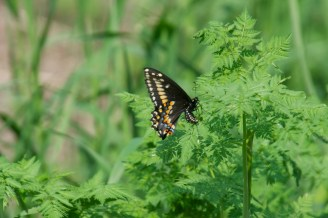 The trail offers many wildflowers about to bloom. I'm sure I will soon see more of these butterflies.
