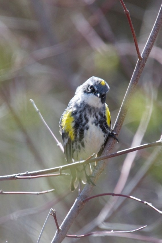 The yellow-rumped Warbler showing me some peronality. Yes, his rump is yellow.
