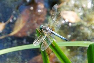 A Blue Skimmer