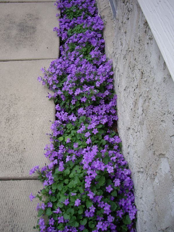 Purple Flowering Groundcover – Campanula Portenschlagiana – a plant that grows in less-than-ideal conditio