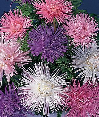 firework aster These perennial flowers grow well in average soils, but needs full sun. Aster flowers come