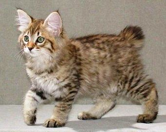 The American Bobtail Cat, super cute and cuddly
