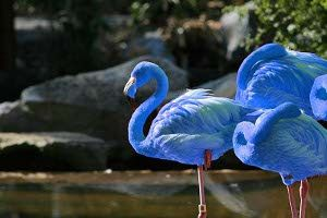 South American Blue Flamingos, Yes, they are real, but only 13 are known to exist. The blue color comes fr