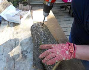 Start your own mushroom garden using hardwood logs. Its so easy, a beginning homesteader can do it! Fr