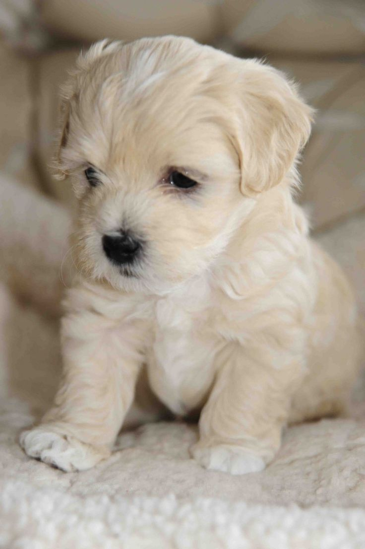 White Havanese Puppies havanese puppy dog www.zazzle.com/…