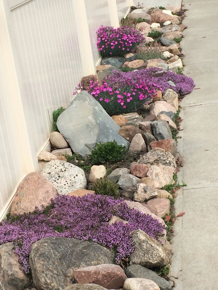 Rock garden with Creeping thyme, early blue violets, fire witch, pussy toes, and succulents. Early blue violets are great for