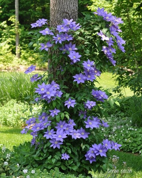 Clematis growing on a wire frame around the tree –