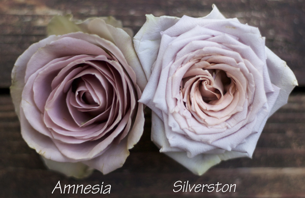 Color Study of Lavender and Purple Roses by Harvest Roses – http://www.harvestwholesale.com – Amnesia & Silverston.