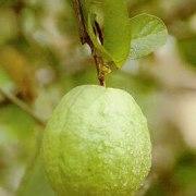 Гуава: боремся с вредителями, собираем урожай