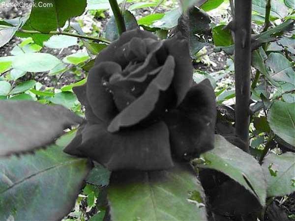 trandafiri-negri-5