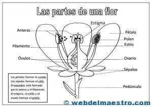 Partes De Una Flor Web Del Maestro