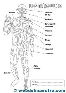 Sistema locomotor musculatura