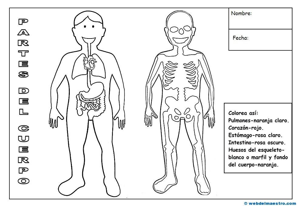 Perfecto Esqueleto Humano Hoja Imprimible Fotos - hojas de trabajo ...