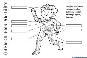 El Cuerpo Humano Para Niños Ii Web Del Maestro